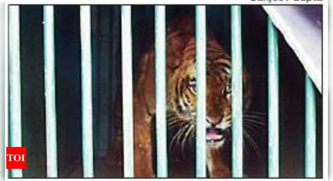 'Rubber factory' tigress rescued in Uttar Pradesh after 15 months of evading foresters   Bareilly News